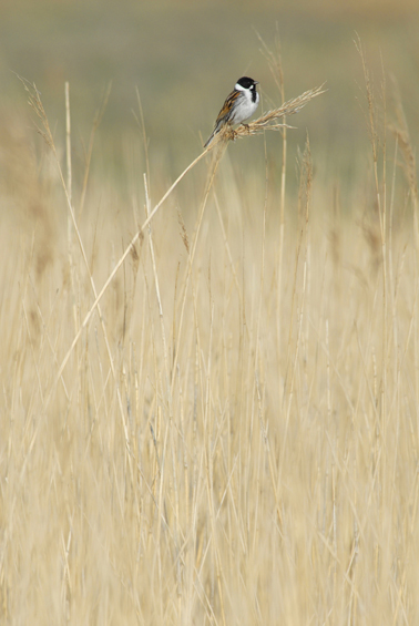 timcollier-cat1-reedbunting-web