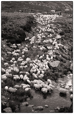 Sheep being driven off the mountain and over a waterfall