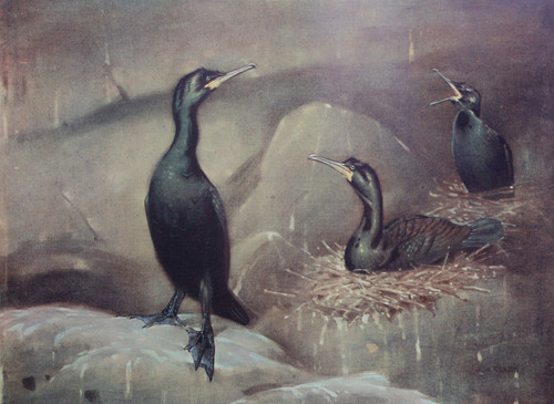 Painting by A. W. Seaby of the Shag