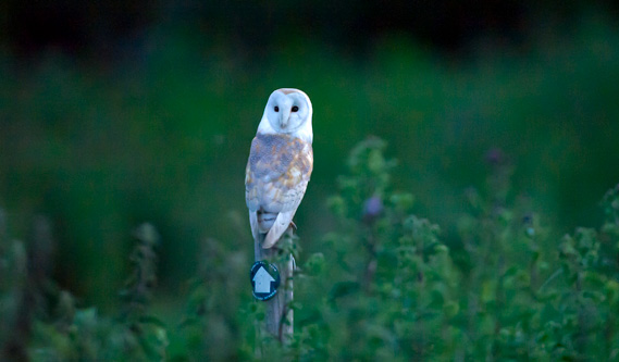 Barn Owl sitting on post at 10pm in the evening with the camera set to 10,000 ISO