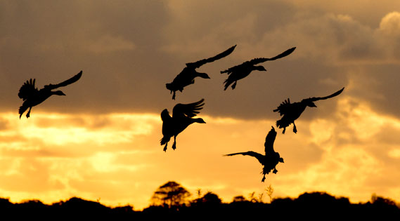 Pink footed geese against a sunset sky