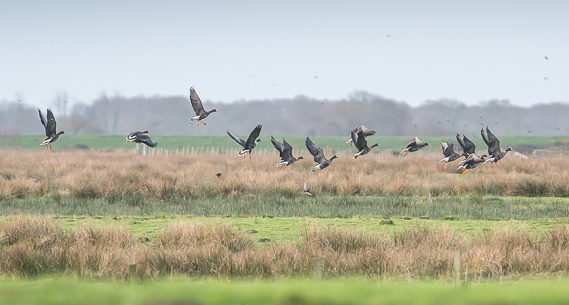 Greenland White-fronted Geese on the Dyfi Estuary